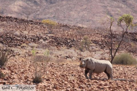Black rhino in Damaraland